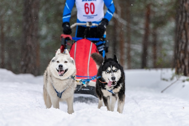 El equipo de perros de trineo husky en arnés corre y tira del conductor del perro. carrera de perros de trineo. campeonato de deportes de invierno.