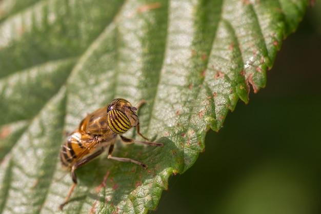 Eristalinus taeniops es una especie de hoverfly, también conocida como la mosca zángano con ojos de banda.