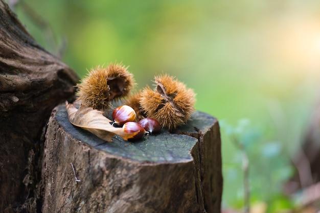 Erizo castaño con castañas en bosque otoñal