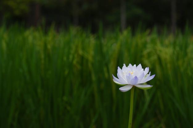 Este es un loto blanco.