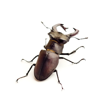 Escarabajo ciervo (lucanus cervus) closeup aislado