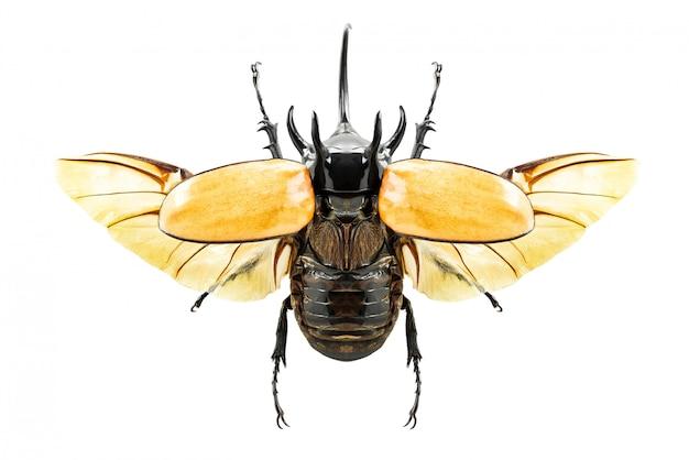 Escarabajo eupatorus gracilicornis
