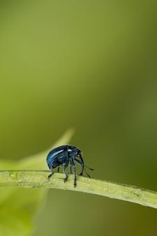 Escarabajo involvulus caeruleus sobre fondo verde natural