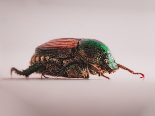 Escarabajo japonés (popillia japonica)