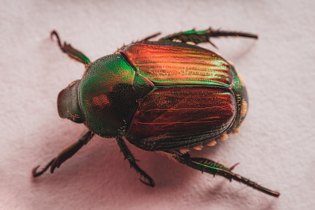 Escarabajo japonés