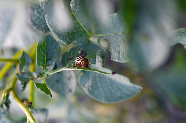 Escarabajo de patata de colorado arrastrándose sobre hojas de patata