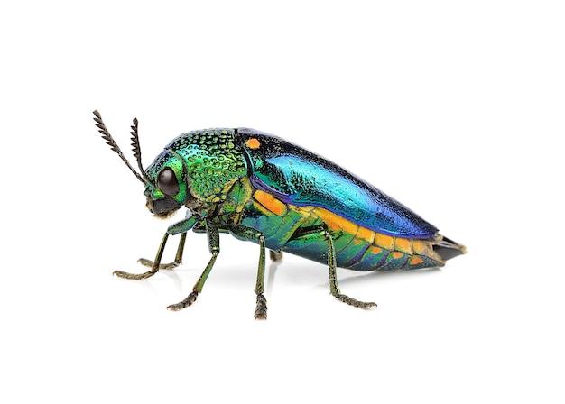 Escarabajo perforador de madera metálico aislado