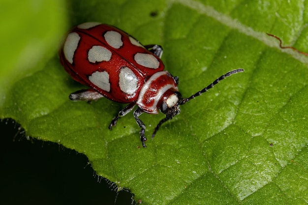 Escarabajo pulga adulto de la especie omophoita argus