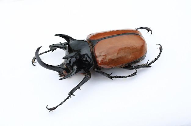 Escarabajo rinoceronte de cinco cuernos. escarabajo de rinoceronte gigante aislado.