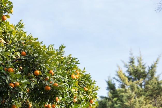 Escena fantástica del naranjo
