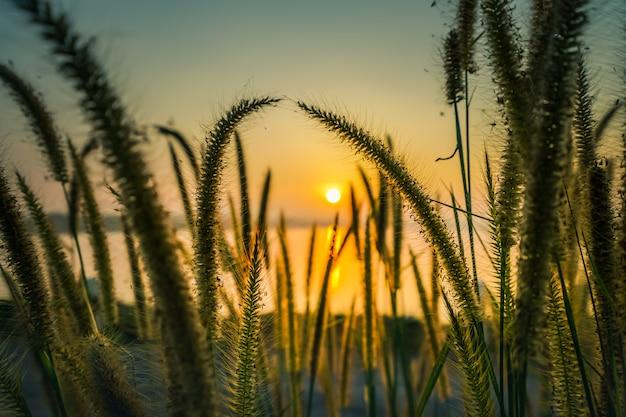 Escena hermosa con la hierba salvaje en una puesta del sol.
