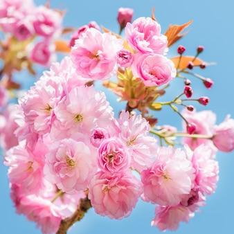 Escena hermosa de la naturaleza con el cerezo floreciente en primavera