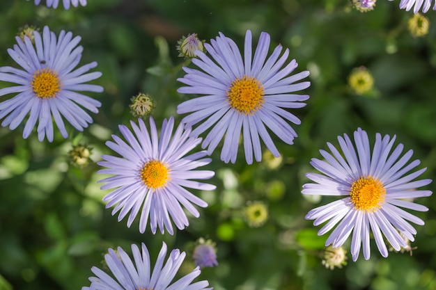 Escena hermosa de la naturaleza con las margaritas azules médicas florecientes en una mañana del verano. medicina alternativa manzanilla de primavera. flores en un prado de belleza.