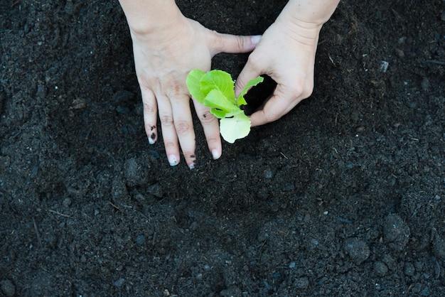 Escena real de plantación de lechuga de roble orgánico