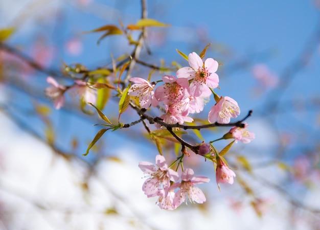 Escena segmento de cerezo textura de la naturaleza