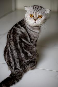 Los escoceses del retrato doblan el gato en el estudio.