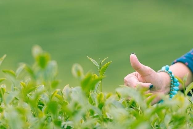 Escogiendo una buena hoja de té verde en la mañana, cerca de la mano de la mujer.