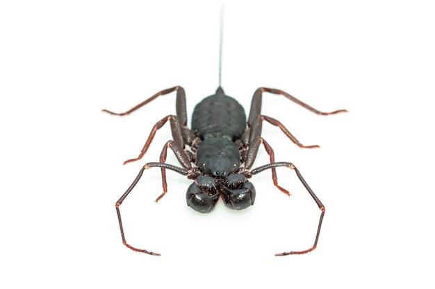 Escorpión látigo aislado. animal. insecto.