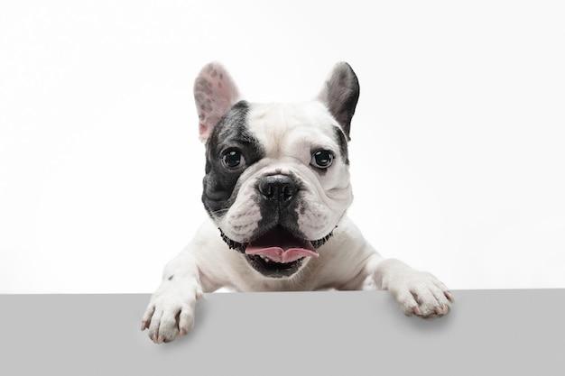 Escuchandote. perro joven bulldog francés está planteando. lindo perrito o mascota blanco-negro juguetón está jugando y parece feliz aislado sobre fondo blanco. concepto de movimiento, acción, movimiento.