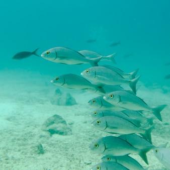 Escuela de peces nadando bajo el agua, isla santa cruz, islas galápagos, ecuador