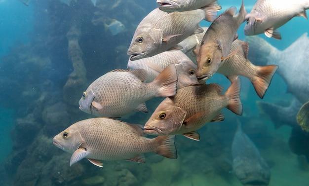 Escuela de peces red snapper en el mar tropical.