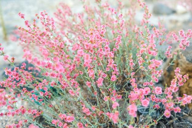 Una especie de suculenta planta silvestre con pequeñas flores rosadas que crecen en el karakoram.