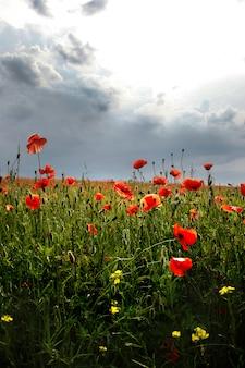 Espectacular floración viva cerca de amapolas en el campo de amapola