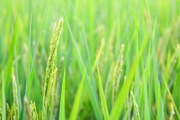 Espiga verde campo de arroz en granja de arroz