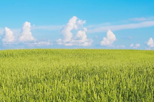 Espigas contra el cielo azul en verano
