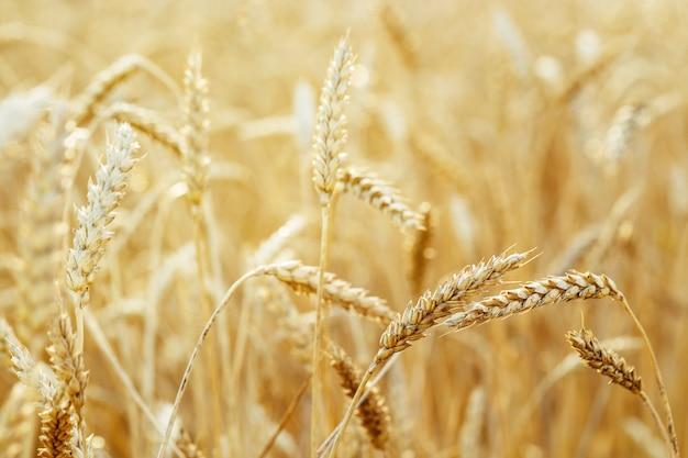 Espigas doradas de trigo a la cálida luz del sol