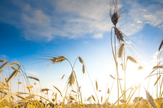 Espigas maduras de trigo