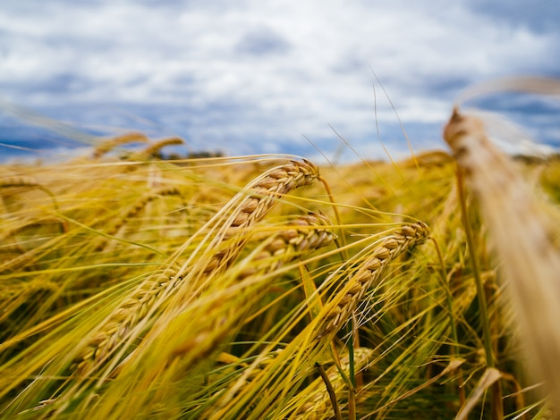 Espigas de trigo en el campo. cielo gris sobre trigo