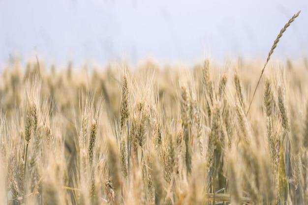 Las espigas de trigo en el campo. el concepto de agricultura. cultivo de cereales