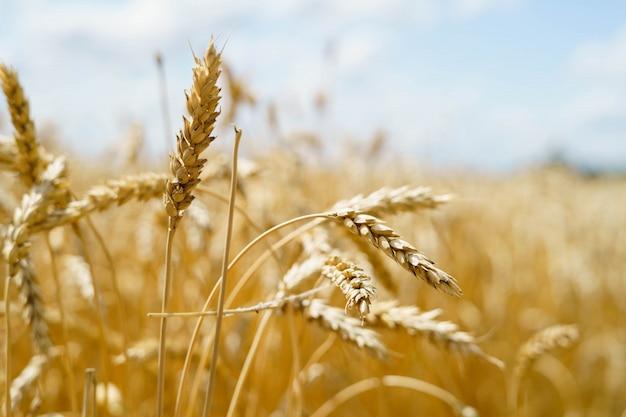 Espigas de trigo dorado