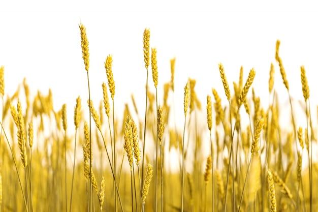Espigas de trigo de oro sobre fondo blanco.