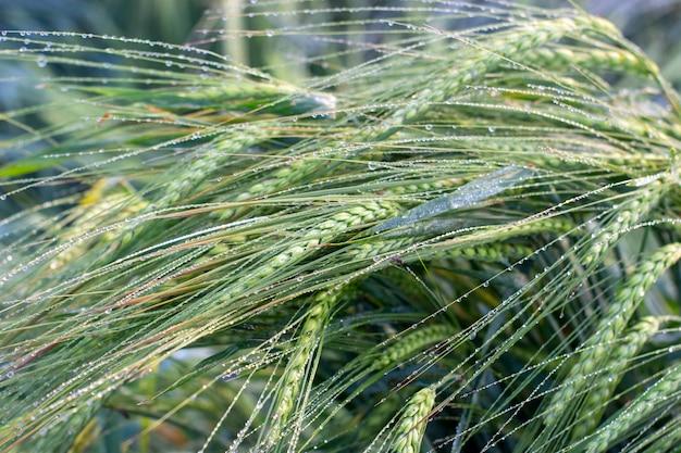 Las espigas verdes de cebada están cubiertas de rocío matinal.