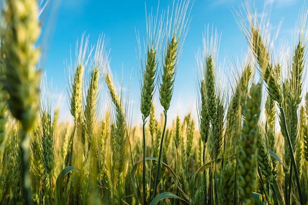 Espiguillas de trigo cerca de campo de agricultura agrícola con cielo azul
