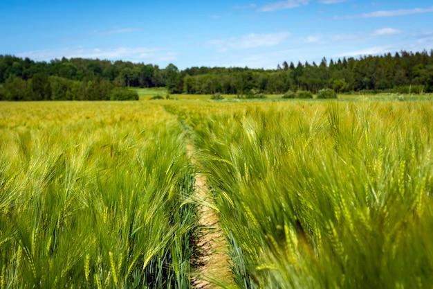 Espiguillas de verde elaboración de la cebada en un campo.