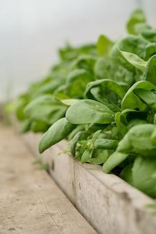 La espinaca crece en un invernadero, invernadero con espinacas, plántulas de espinaca en primer plano del suelo, vista lateral