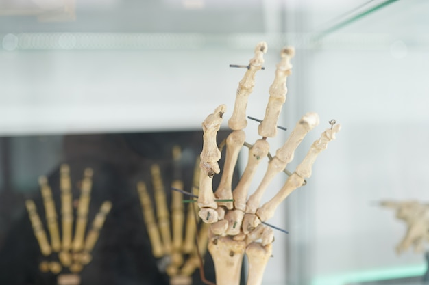 Esqueleto humano modelo de anatomía de la mano.
