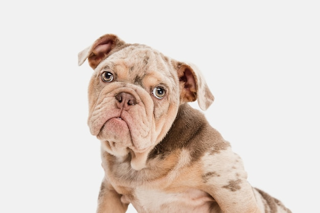 Estado animico. bulldog francés merle jugando aislado en la pared blanca. perrito joven, mascota se ve juguetona, alegre, sincera y amable. concepto de movimiento, acción, amor de mascotas, dinámica. copyspace.