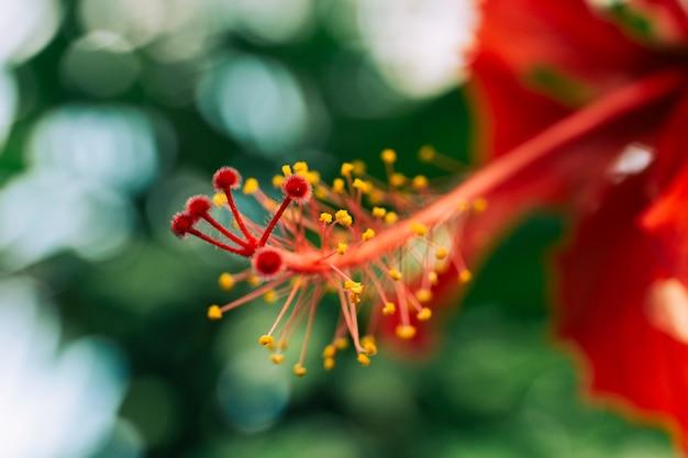 Estambre rojo de flor de hibisco
