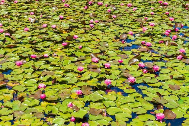 Estanque con hermosas flores de loto sagrado rosa y hojas verdes, ideal para un fondo de pantalla