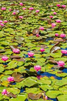 Estanque con hermosas flores de loto sagrado rosa y hojas verdes