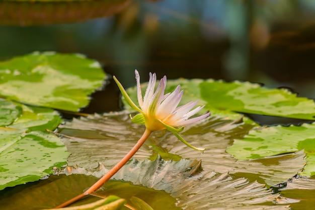 Estanque en jardín tropical, cerca de flor de lirio de agua púrpura o loto