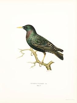 Estornino europeo (sturnus vulgaris) ilustrado por los hermanos von wright.