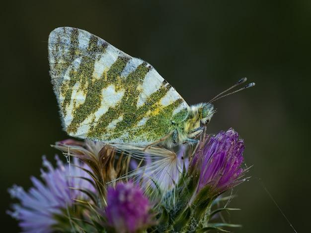 Euchloe belemia. mariposa en su entorno natural.
