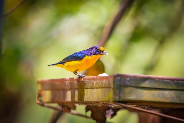 Eufonia de garganta púrpura (euphonia chlorotica) aka fim fim pájaro comiendo plátano