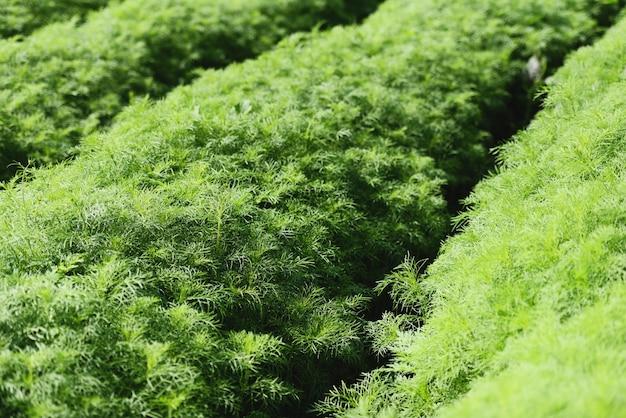 Eupatorium capillifolium: las plantas verdes de eneldo orgánico crecen en el jardín de la granja, campo de espárragos