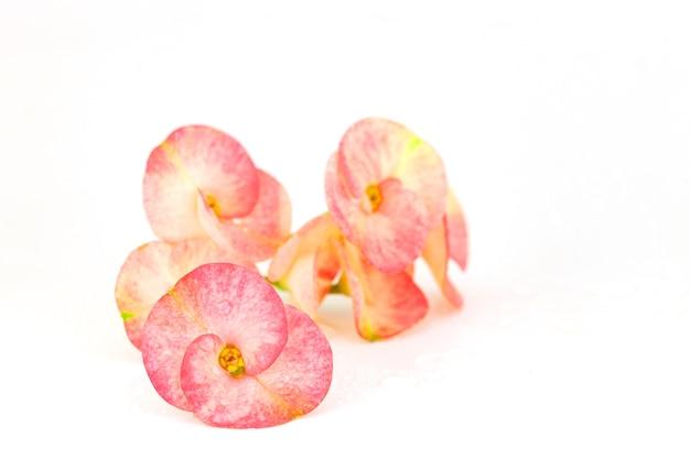 Euphorbia milii flores rosadas, espina de cristo, flores poi sian aisladas sobre fondo blanco.
